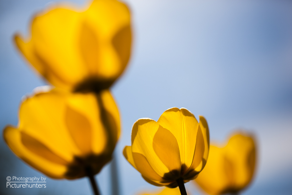 Gelbe Tulpen im Gegenlicht