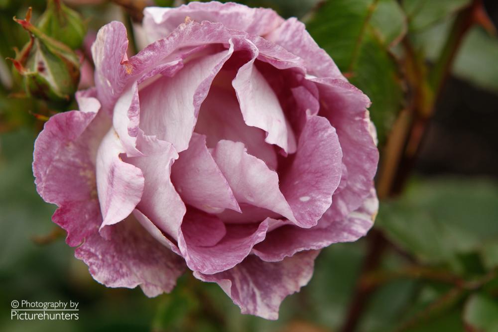 Rose in Wellington