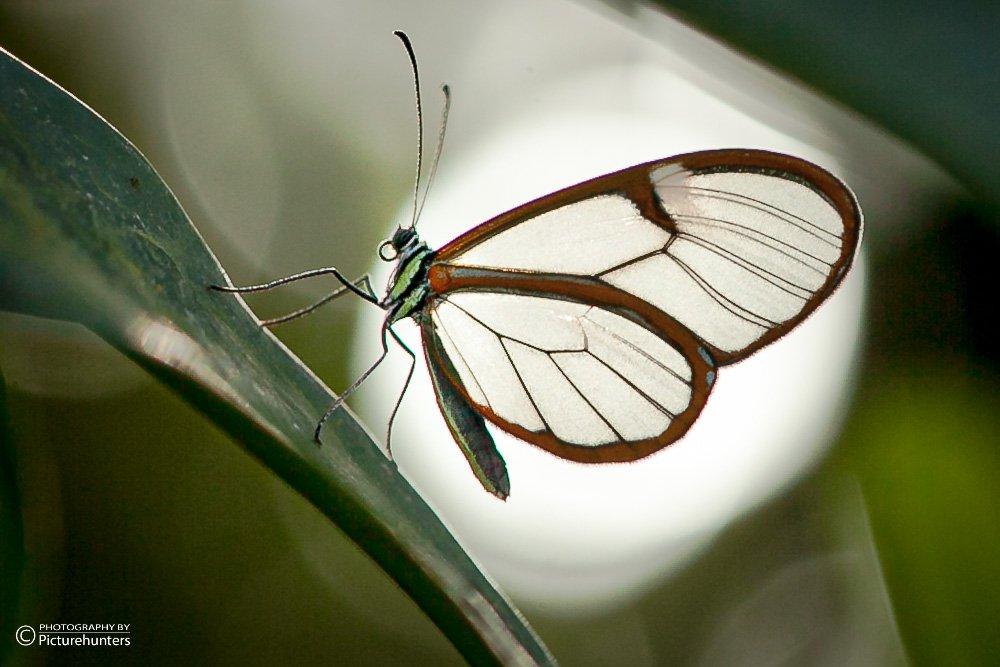 Glasflügelfalter