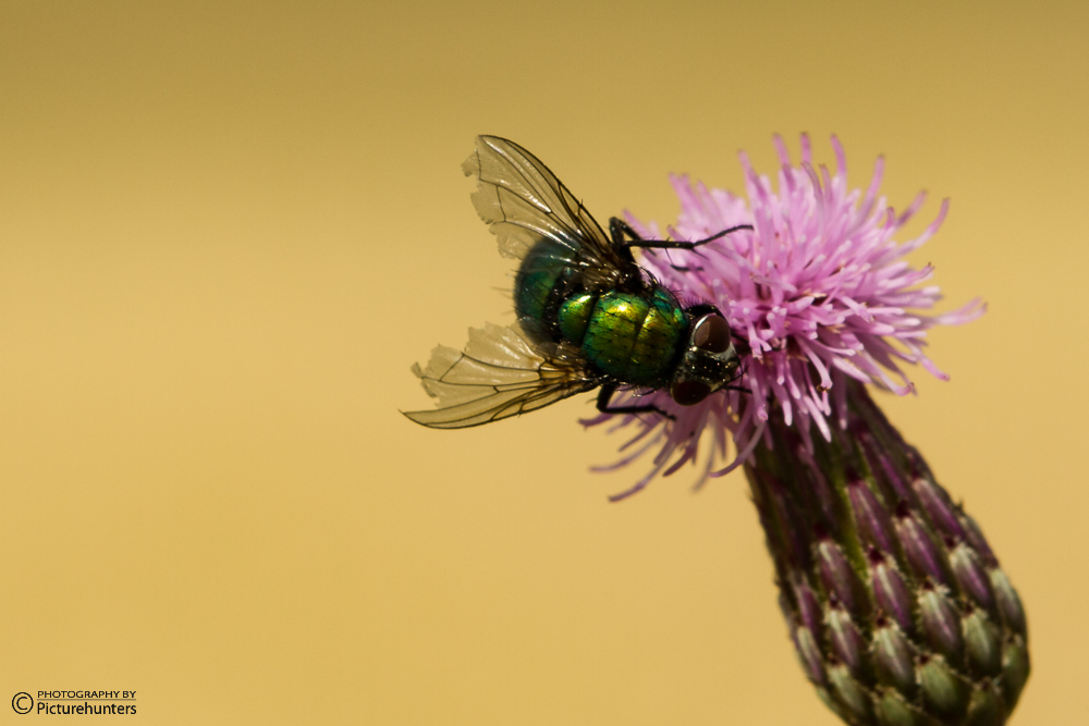 Glänzende Fliege