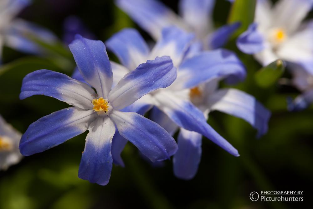 Blau-weiße Blüten