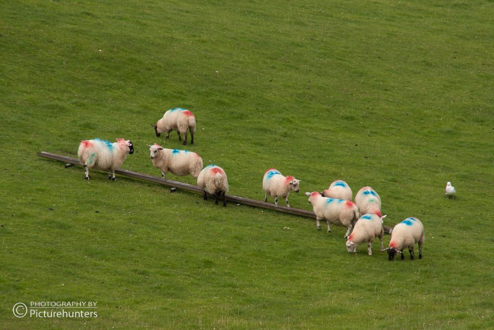 Schafe am Ring of Beara