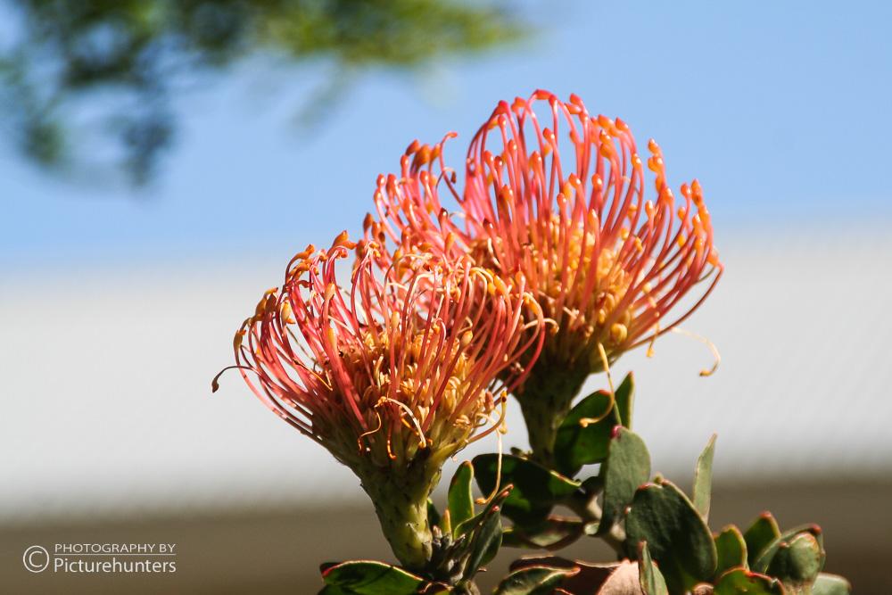 Blüten in Südafrika