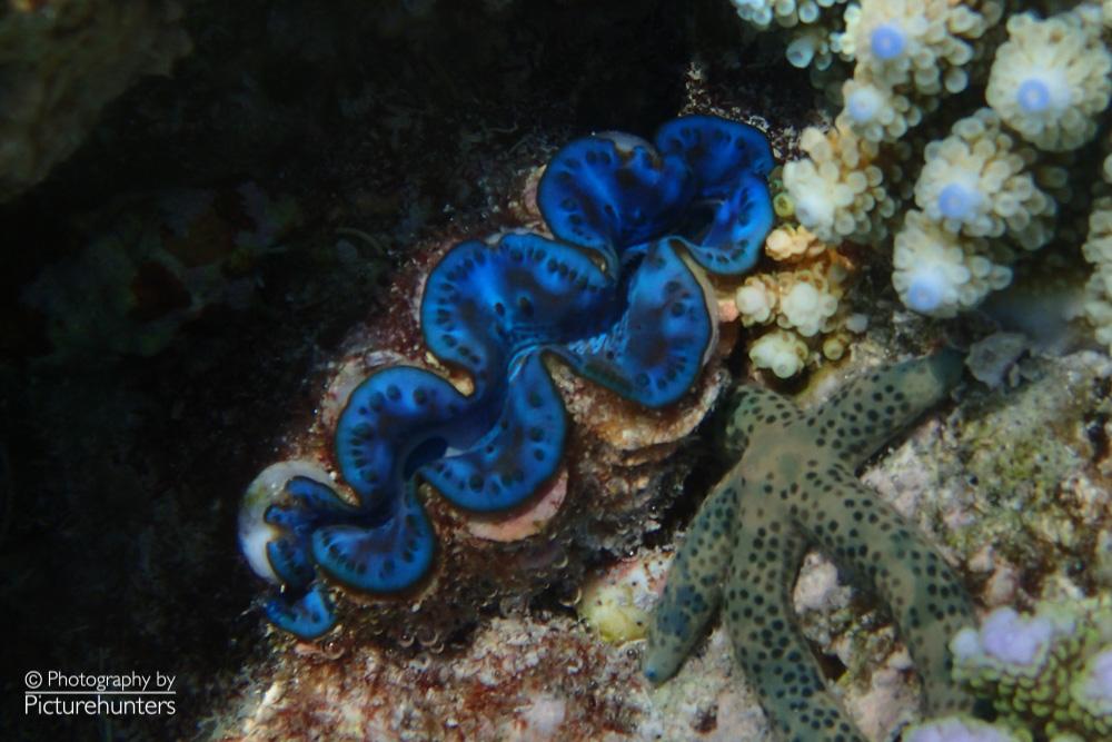 Mördermuschel | Malediven