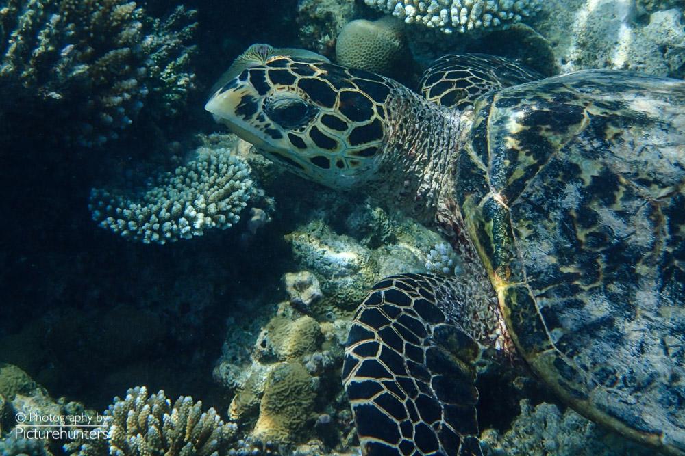 Schildkröte   Malediven