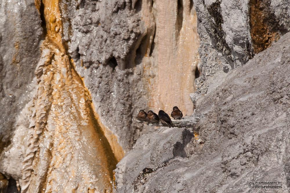 Schwalben am Geysir