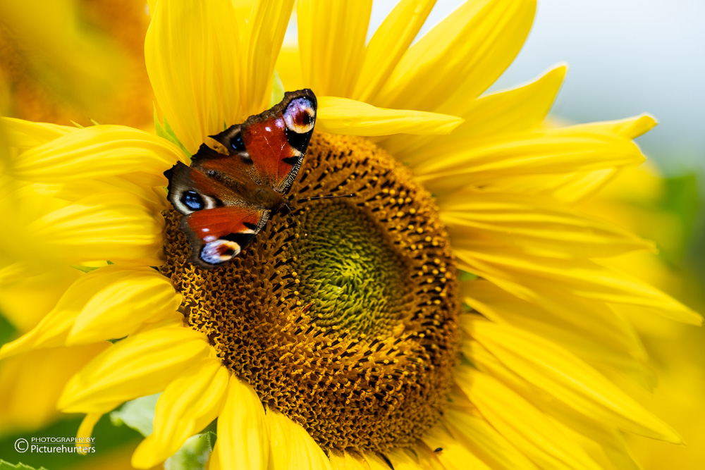 Futterstelle Sonnenblume
