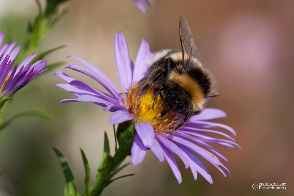 Hummel beim Pollensammeln