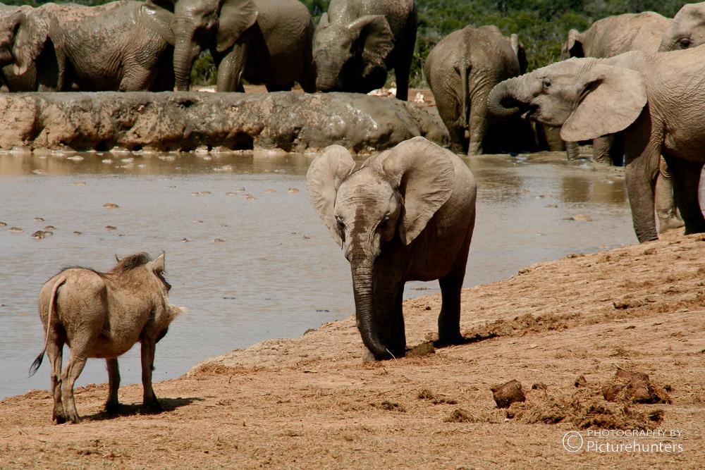 Babyelefant im Addo Park