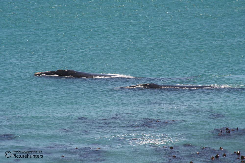 Wale vor Hermanus