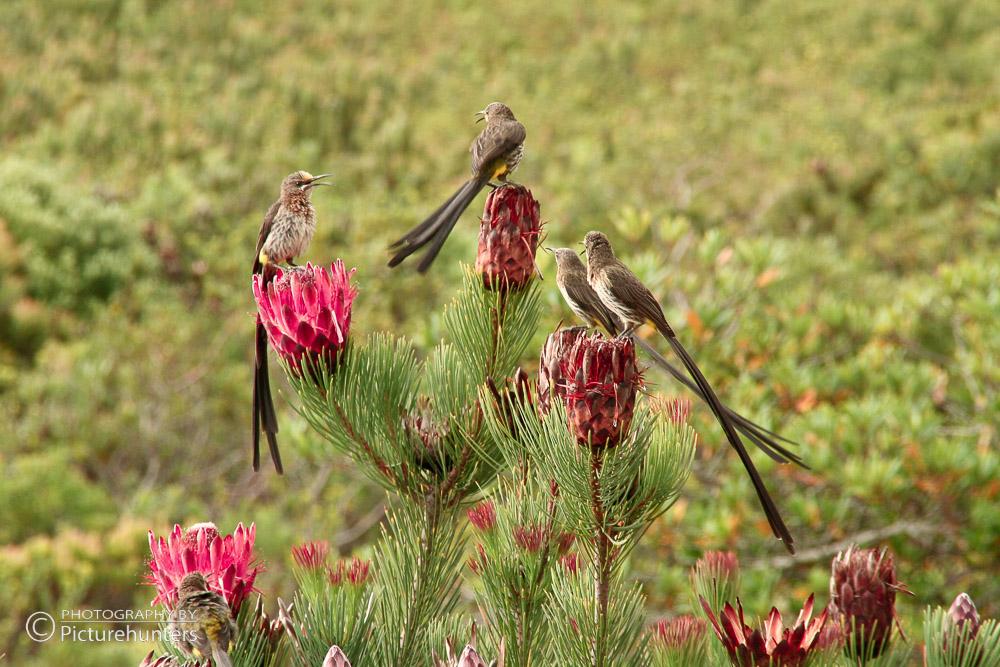 Vögel auf SA-Blüten