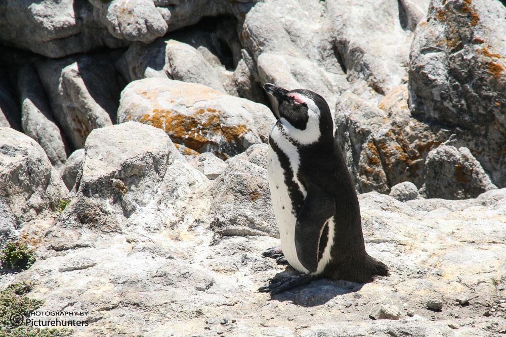 Pinguine   SA