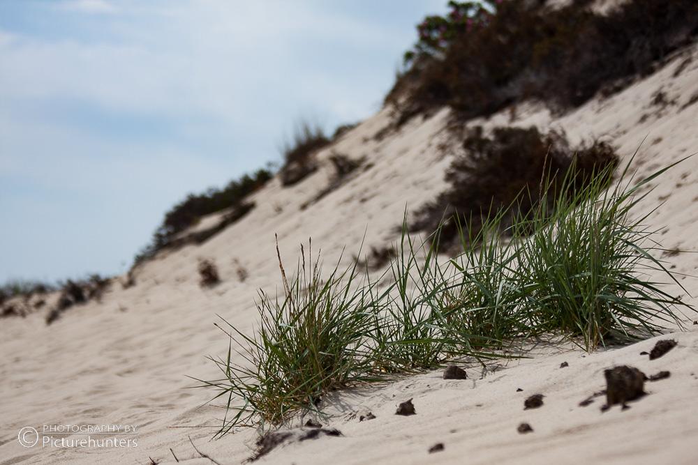 Dünengras | Sylt