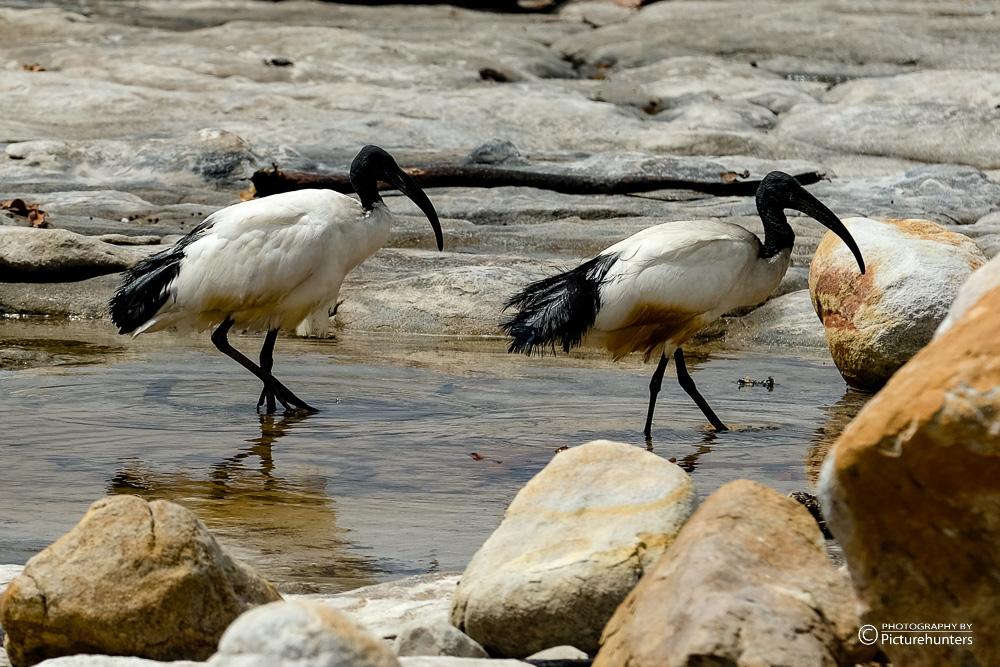 Watvögel an der Küste