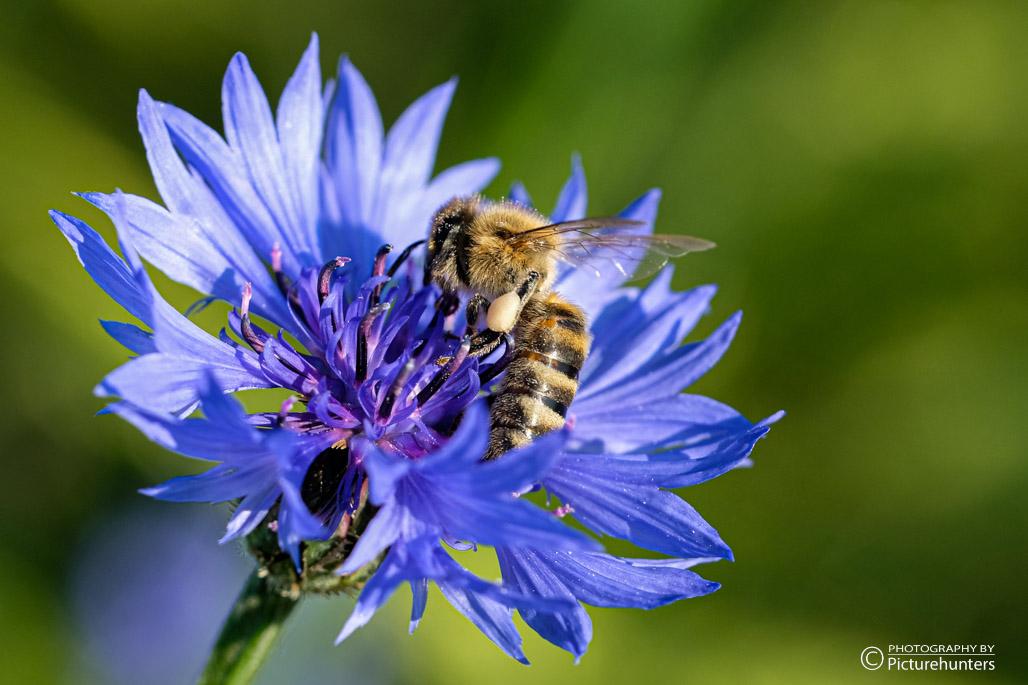 Kornblume und Biene
