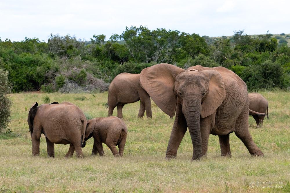 Elefantenfamilie im Addo-Park