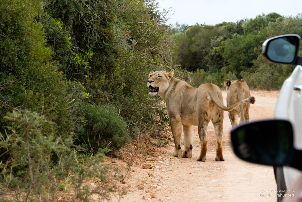Löwinnen ganz nah