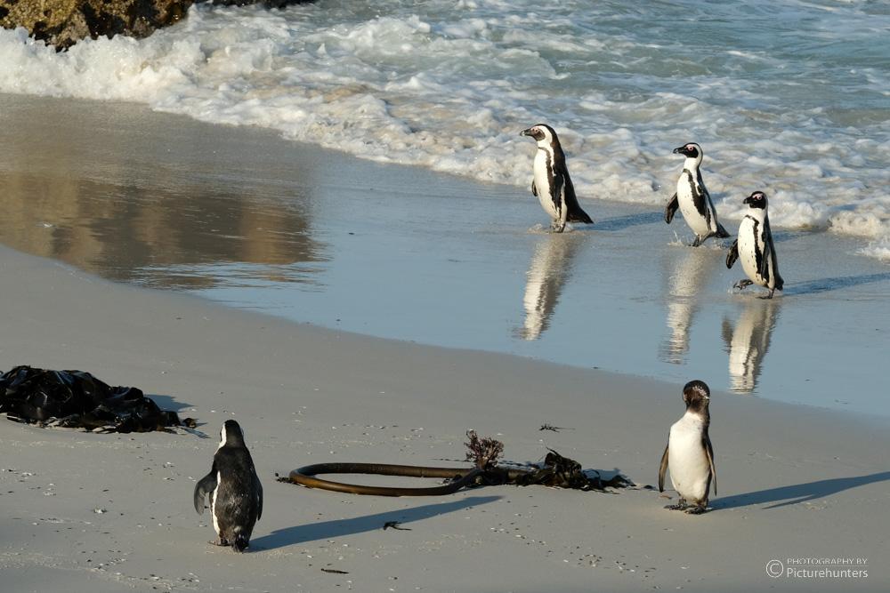 Pinguine | Simons Town