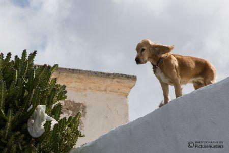 Hund auf Lanzarote