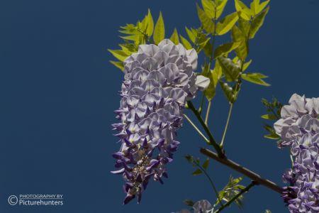 Blaue Blüten in Salzburg