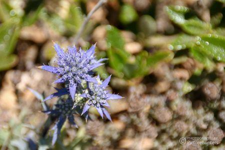 Zarte Blüten in Portugal
