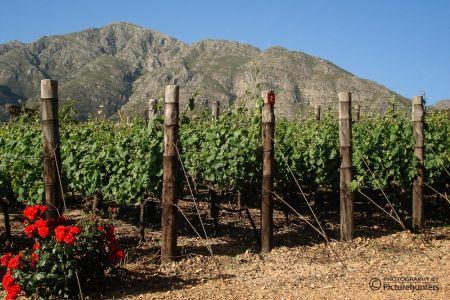 Weinstöcke im Hinterland