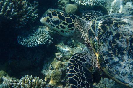 Schildkröte | Malediven