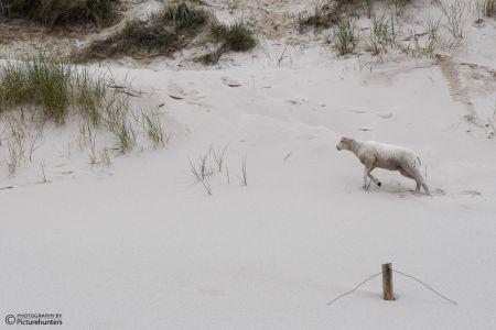 Einsames Schaf am Strand