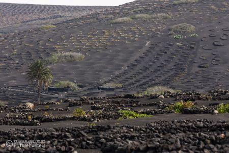 Weinfelder   Lanzarote