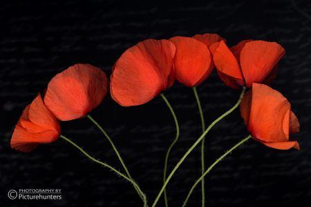 Simply Poppy