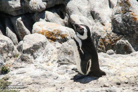 Pinguine | SA