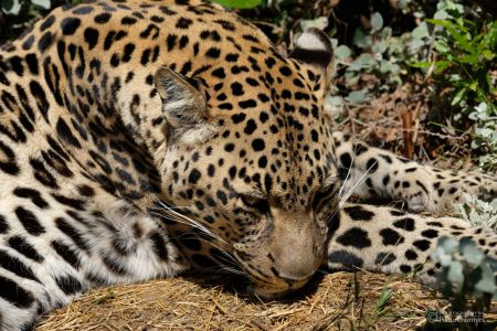 Leopard im Tenikwa-Sanctuary