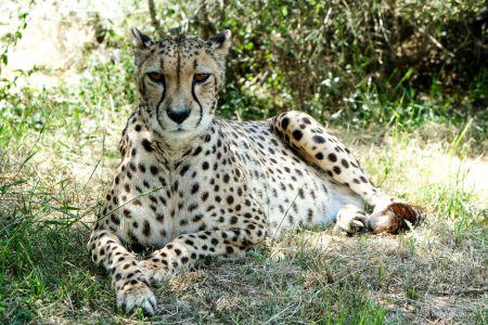 Cheetah im Schatten
