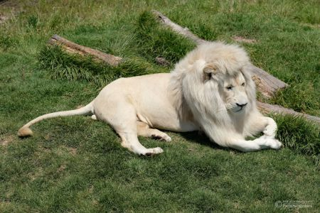 Weißer Löwe, Tenikwa