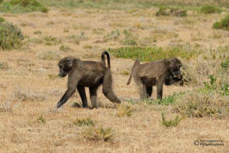 Affen | De Hoop