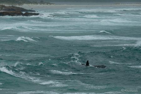 Wal in stürmischer See
