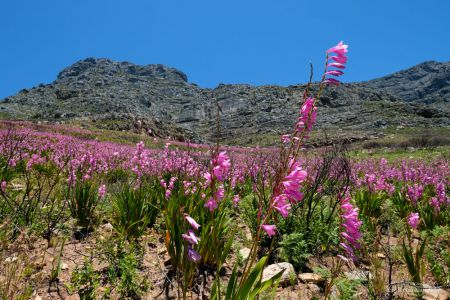 Blütenpracht am Tafelberg