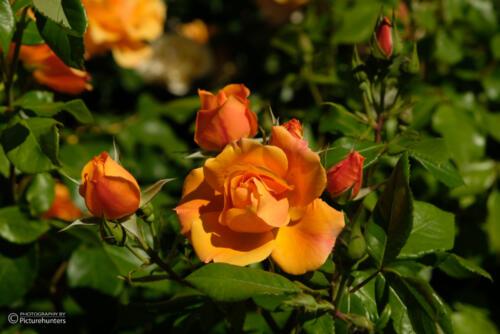 Orange Schönheiten