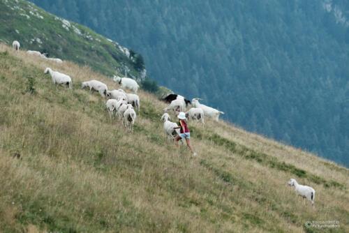 Durch die Herde