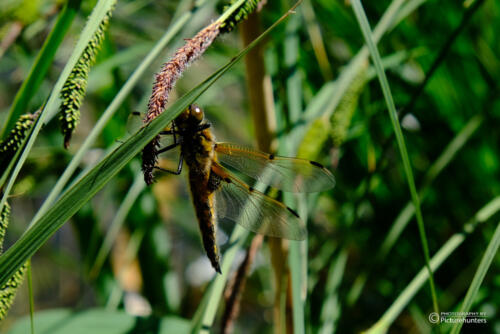 Riesige Libelle
