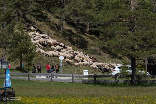 Almabtrieb der Schafe