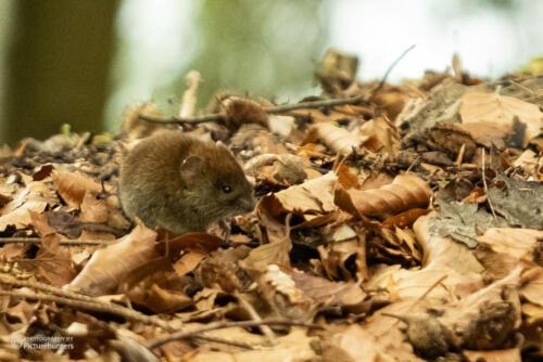 Winzige Maus